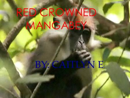 BY: CAITLYN E RED CROWNED MANGABEY Physical Characteristics Long tailed with long (muzzle) nose Slender body and long limbs Bright red fur on top of.