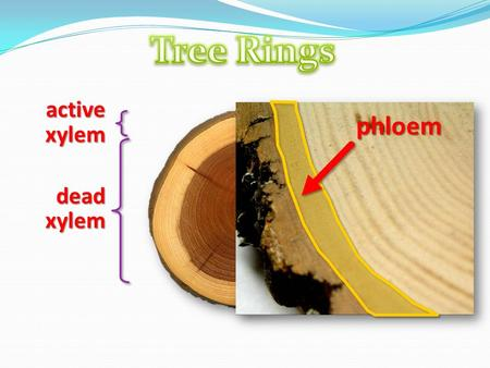 Phloem dead xylem active xylem. What is vascular tissue exactly?