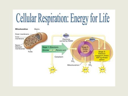The Equations: Cell Respiration: C6H12O6 + 6O2 → 6CO2 + 6H2O + energy (ATP) Photosynthesis: 6CO2 + 6H2O + light energy  C6H12O6 + 6O2.