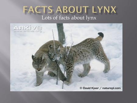 Lots of facts about lynx. You can see the tuffs on tis lynxes ears.