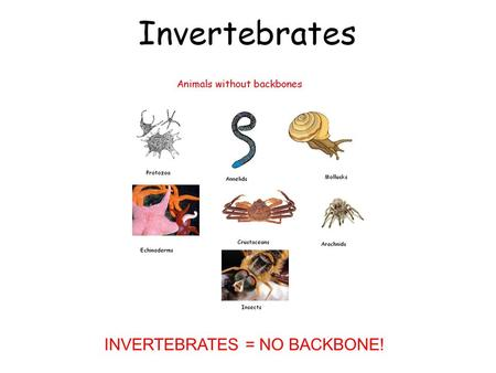 INVERTEBRATES = NO BACKBONE!. Symmetry Definition- Similar in size, shape, and position Three types of symmetry 1. Spherical 2. Radial 3. Bilateral.