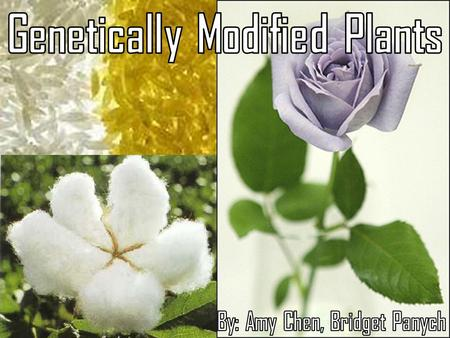 Genetically Modified Plants By: Amy Chen, Bridget Panych
