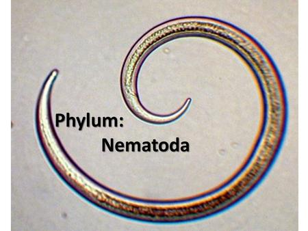Phylum: Nematoda Phylum: Nematoda Nematoda. Nematodes Origin of the word nematoda: Nema = greek for thread Animals in this phylum include: A variety of.