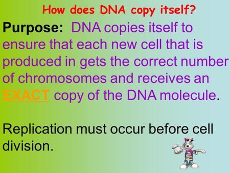 How does DNA copy itself? Purpose: DNA copies itself to ensure that each new cell that is produced in gets the correct number of chromosomes and receives.