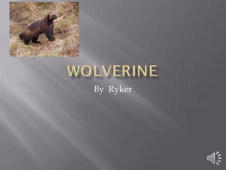 By Ryker Habitat Wolverines live in forests and tundras. They live on the continents of Europe, Asia and North America. They live alone and people do.