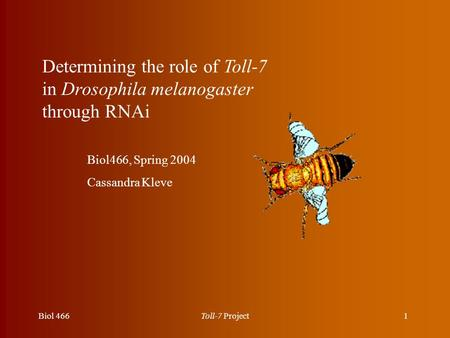 1Biol 466Toll-7 Project Determining the role of Toll-7 in Drosophila melanogaster through RNAi Biol466, Spring 2004 Cassandra Kleve.