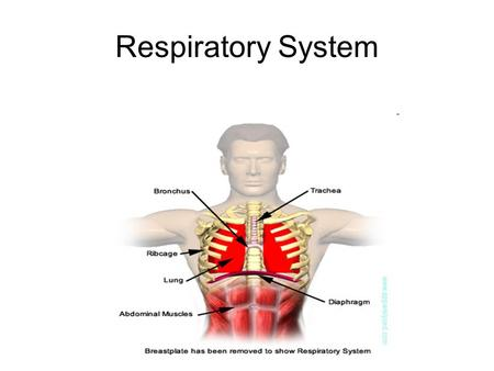 Respiratory System. Main Function Gas Exchange –To work closely with the cardiovascular system to supply the body with oxygen and to dispose of carbon.