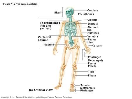 Copyright © 2011 Pearson Education, Inc., publishing as Pearson Benjamin Cummings. Figure 7.1a The human skeleton. Skull Thoracic cage (ribs and sternum)