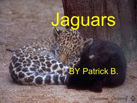 Jaguars BY Patrick B. Description Has shorter legs then other big cats Most jaguars have yellow fur with black rings and spots Grows 4 to 6 long Tail.