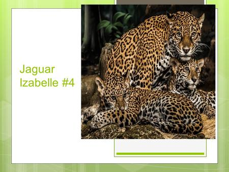 Jaguar Izabelle #4. Background ○ Jaguars typically live in forests or woods, but they are also found in desert areas such as Arizona.