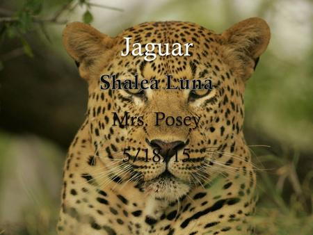 Jaguar. Jaguar Panthera Onca Interesting facts They are strong swimmers and climbers. Requires large areas of tropical rainforest and stretches of river.