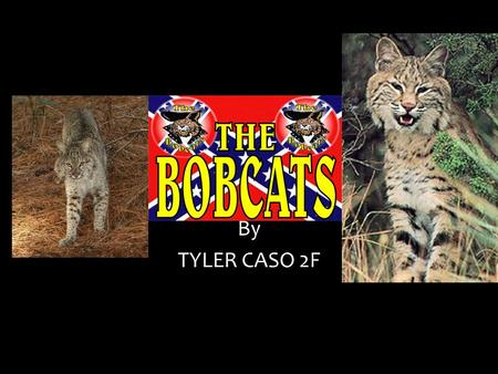 By TYLER CASO 2F Looks like A bobcat looks like tufted ears, a spotted coat, and a shout black tipped tail. Bobcats make long scratch marks. Bobcats.