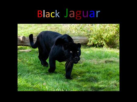 BlackJaguarBlackJaguar Do you know anything about black jaguar? Well I do and let me tell you a few facts about them!