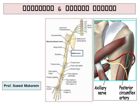 Axillary & Median Nerves