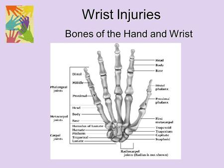 Bones of the Hand and Wrist Wrist Injuries. Olecranon Head of radius Neck of radius Styloid Process Neck of radius Head of radius Olecranon Radial notch.