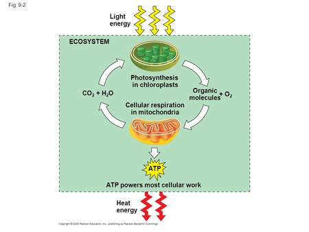 Fig. 9-2 Light energy ECOSYSTEM Photosynthesis in chloroplasts CO 2 + H 2 O Cellular respiration in mitochondria Organic molecules + O 2 ATP powers most.