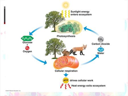  Cellular Respiration In a Nutshell The Purpose  Transfer the energy in macromolecules (like glucose) into a more efficient form for cells (ATP) 