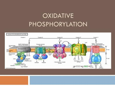 OXIDATIVE PHOSPHORYLATION. Oxidative Phosphorylation  The process in which ATP is formed as a result of the transfer of electrons from NADH or FADH 2.