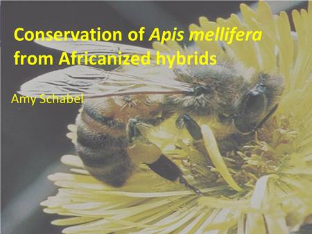 Conservation of Apis mellifera from Africanized hybrids Amy Schabel.