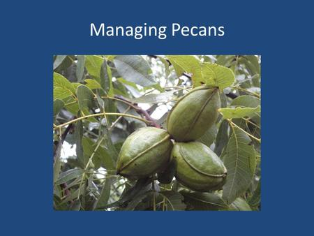 Managing Pecans. Spraying Timing Of Sprays Spray for scab and other diseases with fungicides regularly 100 gallons per acre water Airplane and Spraying.