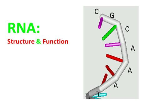 RNA: Structure & Function. What is RNA? RNA is a nucleic acid called Ribonucleic Acid Functions of RNA:  RNA transfers genetic information from the nucleus.