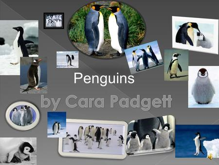 Penguins  They are:  Mammals  Fish  Reptiles  Birds  Amphibians.
