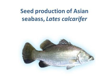 Seed production of Asian seabass, Lates calcarifer.