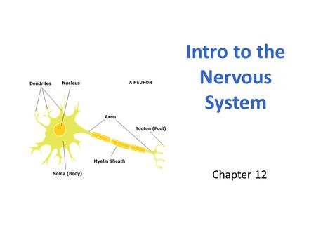 Chapter 12 Intro to the Nervous System. The Nervous System The most complex system Coordinates activities of all body systems Two divisions: The Central.