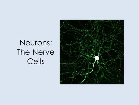 Neurons: The Nerve Cells. Our Goals Today Identify and give functions for each of the following: dendrite, cell body, axon, axoplasm, and axomembrane.