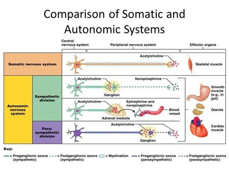 Comparison of Somatic and Autonomic Systems. Divisions of the ANS ANS divisions: – mobilizes the body during _ – performs ___________________________________________.