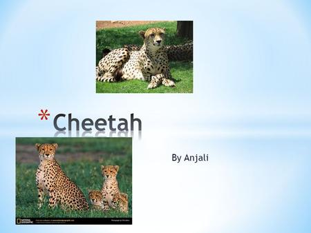By Anjali. * The animal that I am doing for my animal project is the cheetah * The scientific name for the Cheetah is Acinonyz jubutus * The cheetah is.
