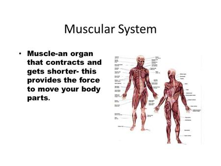 Muscular System Muscle-an organ that contracts and gets shorter- this provides the force to move your body parts.