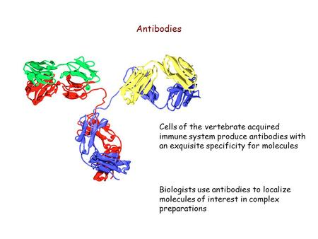 Antibodies Cells of the vertebrate acquired immune system produce antibodies with an exquisite specificity for molecules Biologists use antibodies to localize.