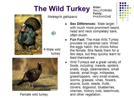 The Wild Turkey Sex Differences: Male larger, with much more prominent beard, head and neck completely bare, often bluish. Fun Fact: The male Wild Turkey.