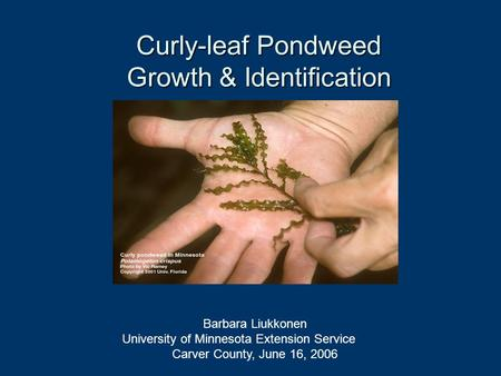 Curly-leaf Pondweed Growth & Identification Barbara Liukkonen University of Minnesota Extension Service Carver County, June 16, 2006.