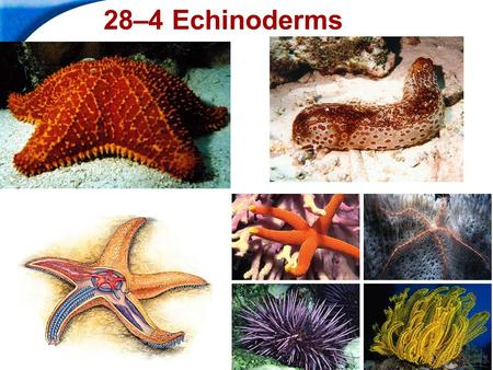 End Show Slide 1 of 37 28–4 Echinoderms. End Show 28–4 Echinoderms Slide 2 of 37 Copyright Pearson Prentice Hall What Is an Echinoderm? Echinoderms are.