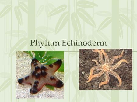 Phylum Echinoderm. Echinoderm Mostly sessil life Adult has no head or brain Central nervous system with nerves radiating into arms All marine Echinodermata.