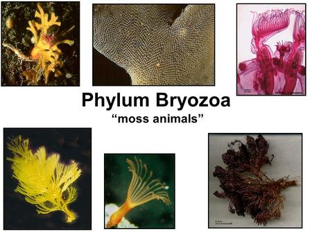 "Phylum Bryozoa ""moss animals"". Bryozoa Characteristics Triploblastic Bilateral Symmetry Organ level of organization Eucoelomate Protostome."