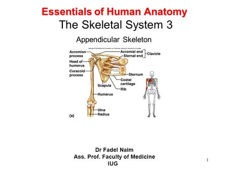 1 Essentials of Human Anatomy Essentials of Human Anatomy The Skeletal System 3 Appendicular Skeleton Dr Fadel Naim Ass. Prof. Faculty of Medicine IUG.