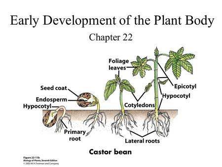 Early Development of the Plant Body Chapter 22. True or False 1)Embryogenesis is the formation of an embryo. 2)The developing embryo in angiosperms is.