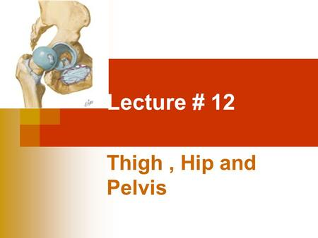 Lecture # 12 Thigh, Hip and Pelvis. since the hip and pelvis have a sturdy anatomical composition, they are seldom injured in sports participation, however.