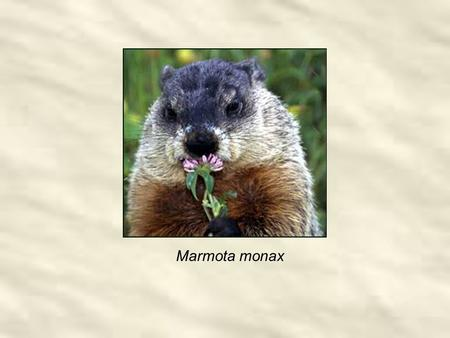 Marmota monax. 12 hr Daylight 12 hr Night Groundhog Day cross-quarter 12 hr Daylight 12 hr Night Shortest Day Longest Day Halloween cross-quarter May.