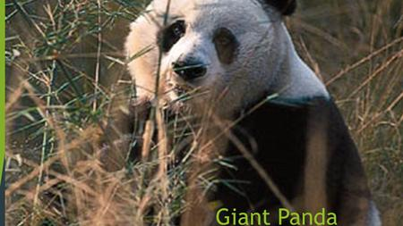 Giant Panda By Chris. How does it look?  The giant panda is a black and white bear that has a body typical of bears.  It has black fur on its ears,