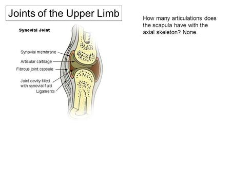 Joints of the Upper Limb How many articulations does the scapula have with the axial skeleton? None.