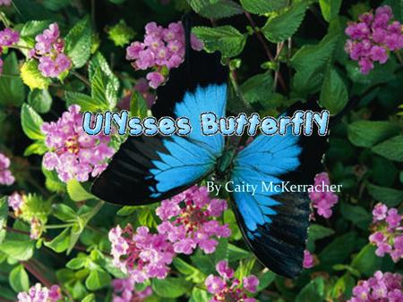 By Caity McKerracher My minibeast The Ulysses Butterfly is found on every continent except for Antarctica. Its scientific name is Papilio Ulysses. It.