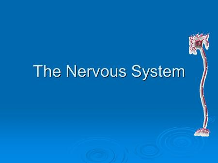 The Nervous System. Neurons: Basic Unit of the Nervous System  The basic unit of structure and function in the nervous system is the neuron, or nerve.