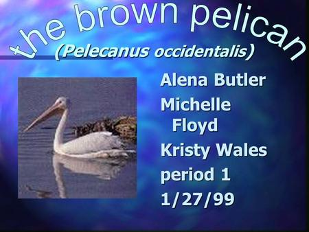 (Pelecanus occidentalis ) Alena Butler Michelle Floyd Kristy Wales period 1 1/27/99.