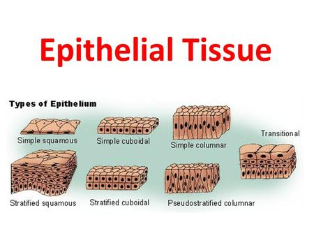 Epithelial Tissue. Cells and Tissues  Cells are the building blocks of all living things  Tissues are groups of cells that are similar in structure.
