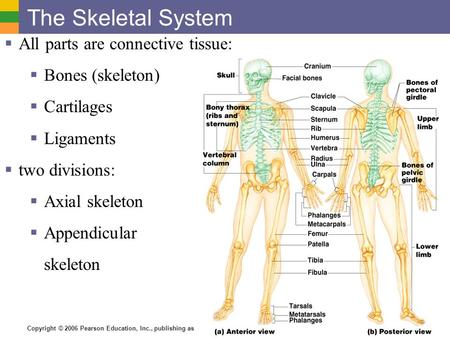 Copyright © 2006 Pearson Education, Inc., publishing as Benjamin Cummings The Skeletal System  All parts are connective tissue:  Bones (skeleton)  Cartilages.