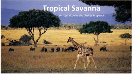Tropical Savanna By: Chelsey Hropovich and Alyssa Cuomo Tropical Savanna By: Alyssa Cuomo and Chelsey Hropovich.